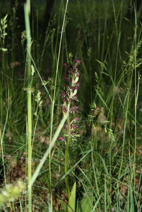 Orchis pourpre (Orchis purpurea)