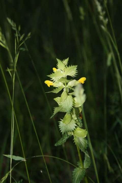Mélampyre à crète (Melampyrum cristatum)