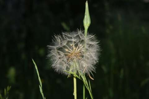 Salsifi (Tragopogon sp.)
