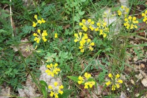 Lotier corniculé (Lotus corniculatus)