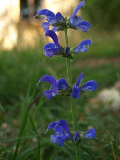 Sauge des prés (Salvia pratensis)