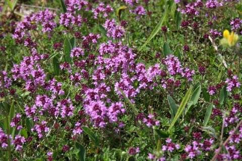 Serpolet (Thymus sp.)